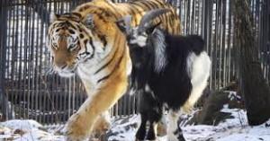 geit tijger